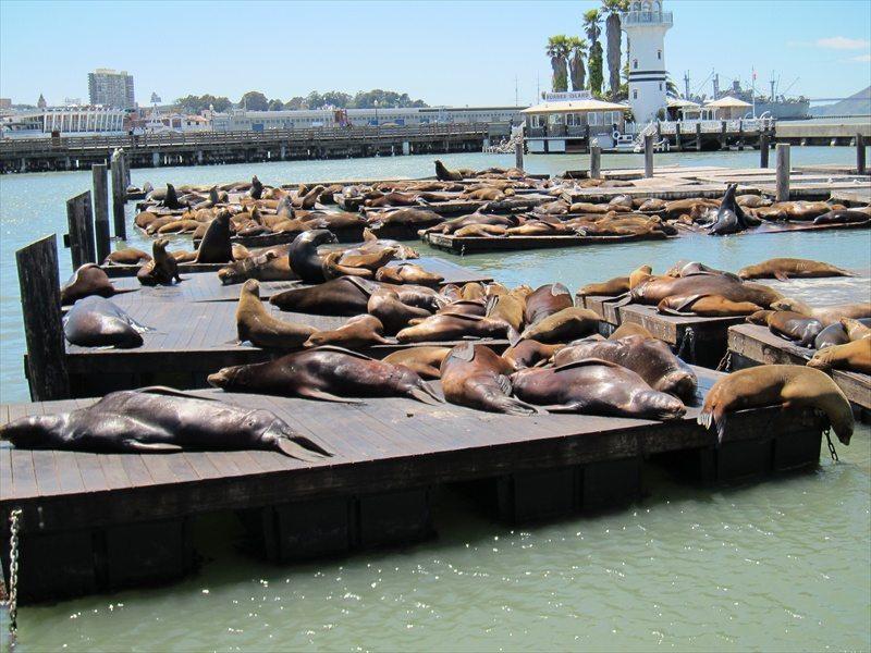 אריות הים בפייר 39, סן פרנסיסקו