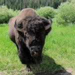 ביזון בפארק לאומי ילוסטון