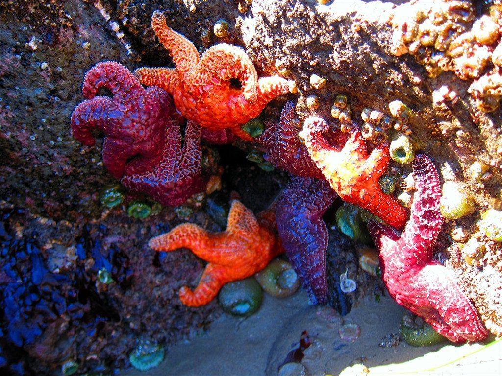 כוכבי ים בבריכות השפל באורגון