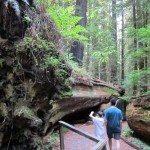 מטיילים ליד גזע עץ סקויה שנפל, פארק רדוודס, קליפורניה