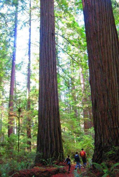 עצי סקויה רדווד