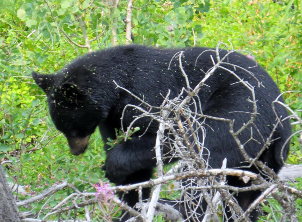 דב שחור - פארק לאומי גליישר