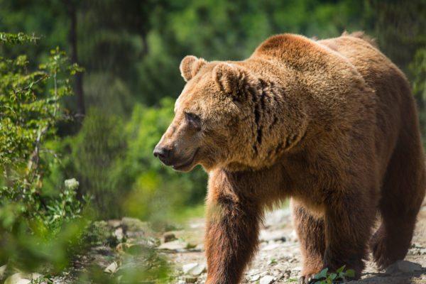 איך לראות דובים