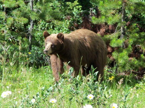 דובים!