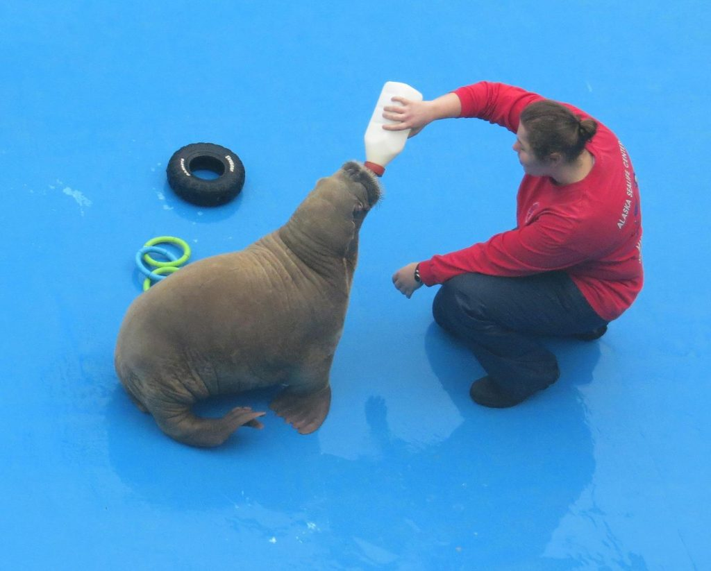 Baby Walrus fed in the Sealife Center